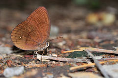 Common Faun butterfly. Of thailand background Royalty Free Stock Photo