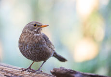 Common female Blackbird close-up royalty free stock photos