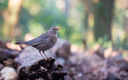 Common female Blackbird Stock Image