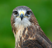 Common Female Hawk Stock Images