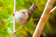 Common female house sparrow Royalty Free Stock Photography