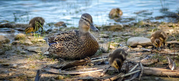 Common Female Mallard duck rests on the shoreline with her clutch of duckling chicks. Stock Photos