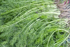 Common fennel Royalty Free Stock Photos