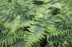 Free Common Fern Royalty Free Stock Photography - 93543597