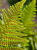 Common fern Royalty Free Stock Photos