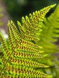 Common fern Stock Photography