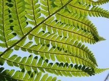 Common fern Stock Photo
