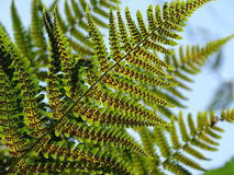 Common fern Royalty Free Stock Image