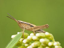 Common Field Grasshoper Stock Photo