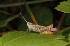 Common field grasshopper (Chorthippus brunneus) Royalty Free Stock Images