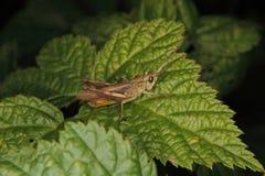 Common field grasshopper (Chorthippus brunneus) royalty free stock photography