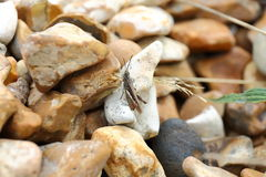 Common Field Grasshopper Stock Photography
