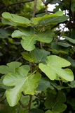Common fig. ficus carica Stock Photography