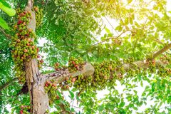 Free Common Fig Ficus Carica Green And Red Fruits On Ficus Subpisocarpa Tree In Outdoor. Fruit On Ficus Subpisocarpa Also Known As Stock Image - 174728621
