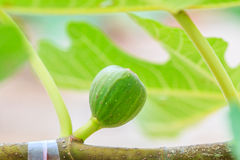 Common fig Royalty Free Stock Photo