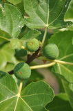 Common fig plant Royalty Free Stock Photo