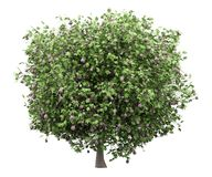 Common fig tree with figs isolated on white stock illustration
