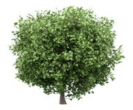 Common fig tree isolated on white vector illustration