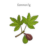 Common fig, vector illustration. Common fig Ficus carica . Hand drawn botanical vector illustration Stock Images
