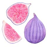 Common figs. Watercolor whole fig, part and slice. On the white background, aquarelle. Vector illustration. Hand-drawn fruit decorative element useful for Stock Photography