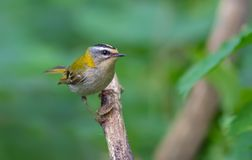 Common firecrest perched at some dry perch stock photos