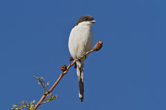 Common Fiscal (Lanius collaris) royalty free stock images