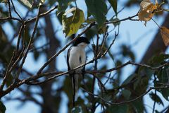 Common fiscal Lanius collaris in a tree. A Common fiscal Lanius collaris in a tree Royalty Free Stock Photo
