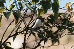 Common fiscal Lanius collaris in a tree. A Common fiscal Lanius collaris in a tree Stock Photography