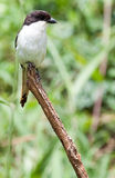 Common fiscal perched on top of stick Royalty Free Stock Images