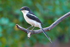 Common fiscal shrike. Adult male in breeding plumage stock images