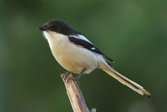 Common fiscal shrike lanius collaris. Common fiscal shrike, adult male royalty free stock image
