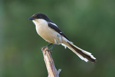 Common fiscal shrike lanius collaris. Common fiscal shrike, adult male Royalty Free Stock Images