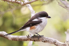 Common fiscal shrike Royalty Free Stock Images