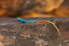 Common flat lizard. A medium to large lizard; adult males have varied coloration Royalty Free Stock Images
