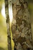 The Common Flat-tail Gecko Uroplatus fimbriatus has a perfect mimicry, Madagascar Stock Photos