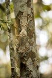 The Common Flat-tail Gecko Uroplatus fimbriatus has a perfect mimicry, Madagascar Royalty Free Stock Photos