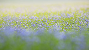 Common flax Royalty Free Stock Photography