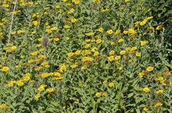 Common Fleabane Stock Photo