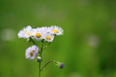 Common fleabane Royalty Free Stock Image