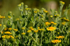 Common fleabane (Pulicaria dysenterica) Royalty Free Stock Photo