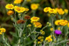 Common Fleabane Pulicaria dysenterica and Thistles flowering n. Ear Ardingly Reservoir in Sussex Stock Photo