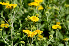 Common fleabane Royalty Free Stock Photo