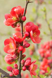 Common Flowering Quince Stock Photos