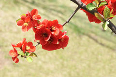 Common Flowering Quince Royalty Free Stock Images