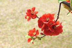 Common Flowering Quince Royalty Free Stock Photography