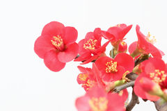 Common Flowering Quince. The close-up of Common Flowering Quince. Scientific name: Chaenomeles speciosa royalty free stock photos
