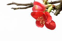 Common Flowering Quince Stock Photography
