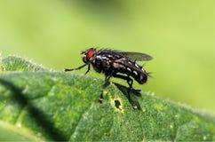 Common fly Stock Photos