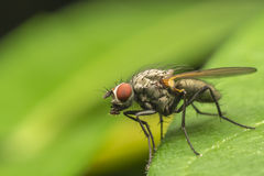 Common Fly Royalty Free Stock Photo