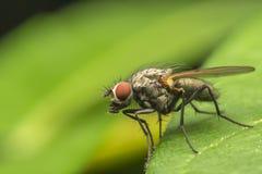 Common Fly. Macro Photo Of A Small Common Fly Royalty Free Stock Photo
